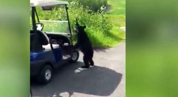 Bear steals beer golf cart